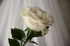 Lovely big creamy white flower rose. Green leaves and thorns. Still life. Contrast with lights and shadows, silhouette. Black, gre. Y and white colors stock photos