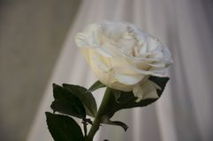 Lovely big creamy white flower rose. Green leaves and thorns. Still life. Contrast with lights and shadows, silhouette. Black, gre. Y and white colors stock photo