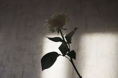 Lovely big creamy white flower rose. Green leaves and thorns. Still life. Contrast with lights and shadows, silhouette. Black, gre. Y and white colors royalty free stock photography