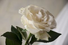 Lovely big creamy white flower rose. Green leaves and thorns. Still life. Contrast with lights and shadows, silhouette. Black, gre. Y and white colors stock images