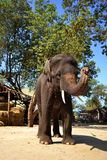 Lovely big elephant, Ayutthaya Thailand. Greeting from big elephant, Ayutthaya Thailand Stock Photo