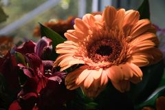 Lovely big orange gerbera and burgundy alstroemerias royalty free stock image