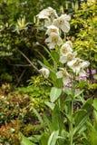 Lovely big white poppy in bloom. Stock Photo