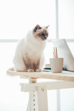 Lovely birman cat at home. Lovely cuddly cat at home sitting on the desk and looking around, pets at home concept stock photography