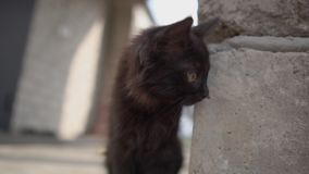 Lovely black kitten standing at a column in a yard in summer in slo-mo