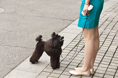 Lovely black poodle Royalty Free Stock Photo