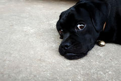 Lovely black puppy dog lied on cement ground floor royalty free stock photos