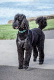 Lovely Black Standard Poodle Walking on Path Royalty Free Stock Images