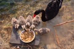 Lovely black swan Stock Images