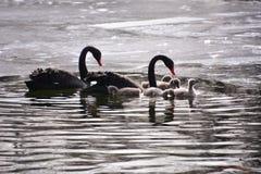 Lovely black swan Royalty Free Stock Image