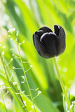 Lovely Black tulip in the field, Royalty Free Stock Image