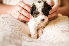 Cute black and white puppy sitting on a lap on a pink mat with hearts. Lovely black and white puppy sitting on a lap on a soft pink blanket Stock Photos