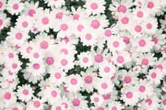 Lovely blossom pink color daisy flowers background. Beautiful view from above on blossom pink color daisy flowers garden royalty free stock images