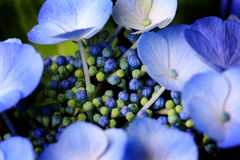 Lovely Blue Billow Lacecap Hydrangea. Lovely and Delicate Blue Billow Lacecap Hydrangea flower pedals and buds. Shallow depth of field Stock Images