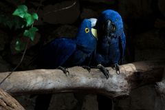 Lovely blue parrots sitting on the branch royalty free stock photography