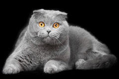 Blue scottish fold cat on black background Royalty Free Stock Photography