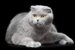 Blue scottish fold cat on black background Stock Photos