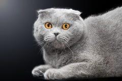 Blue scottish fold cat on black background Royalty Free Stock Photo