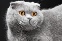 Blue scottish fold cat on black background Royalty Free Stock Image