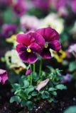 Lovely Blue Spring Garden Flowers Pansy Isoalted Sun Stock Photo