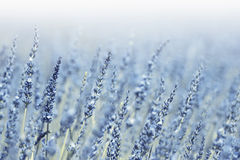 Lovely blurred blue violet lavender flowers background Stock Photography