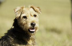 A lovely border terrier Stock Photography