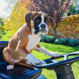 Lovely Boxer Puppy 3 months old driving the tractor Royalty Free Stock Photo