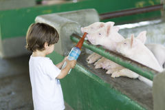 Lovely Boy feeds Pig Royalty Free Stock Images
