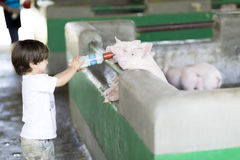 Lovely Boy feeds Pig Stock Image