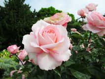 Lovely Bright Pale Pink Rose Flowers Blossom In Park Garden 2019. Lovely Bright Pale Pink Rose Flowers Blossom In Vancouver Q.E. Park Rose Garden In Summer 2019 royalty free stock image