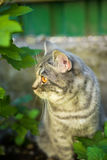 Lovely British kitten in a green grass stock photos
