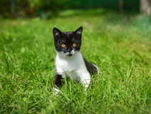 Lovely British kitten in a green grass royalty free stock photography
