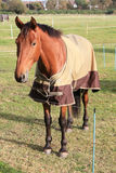 Lovely brown horse Royalty Free Stock Photos