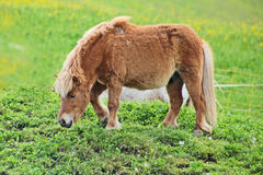 Lovely brown horse in the swiss alps Stock Images