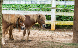 Lovely Brown Pony Couple Stand Together under The Big Tree Stock Images