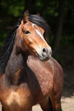 Lovely brown pony with nice black mane looking at you Stock Images