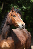 Lovely brown pony with nice black mane looking at you Royalty Free Stock Images