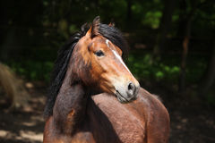 Lovely brown pony with nice black mane Stock Image