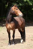 Lovely brown pony with nice black mane Royalty Free Stock Photos