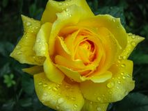 A lovely bud of a bright yellow rose with many petals with transparent raindrops against blurred dark. Green garden background. Selective focus royalty free stock image