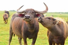 Lovely Buffaloes. Couple Buffaloes lovely love companion Royalty Free Stock Images