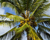 Lovely bunch of coconuts Royalty Free Stock Photos
