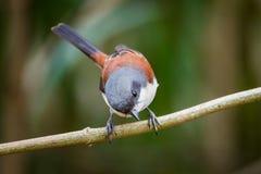 Lovely Burmese Shrike Stock Photography