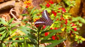 Large Butterfly on a bush stock video footage