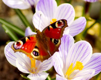 Lovely butterfly on spring meadow Royalty Free Stock Images