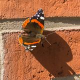 Lovely butterfly in sunlight. Impressive colored butterfly sit on a brickstone wall - to use for illustration or others royalty free stock images