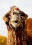Lovely camel Stock Photos