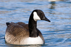 Free Lovely Canada Goose Stock Image - 8013501