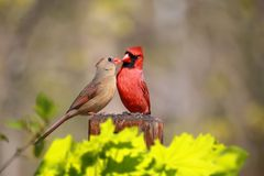 Lovely Cardinal Feed Each Other Showing Intimate Relationship Royalty Free Stock Photo