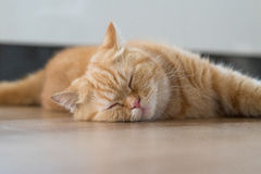 Lovely cat american short hair sleeping Stock Photo